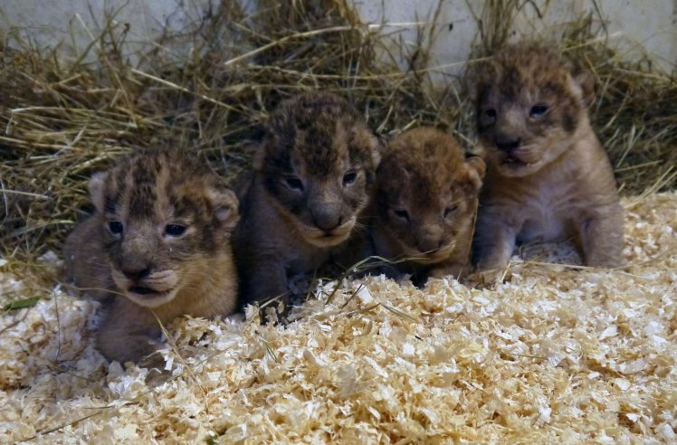 Lions killed by zoo