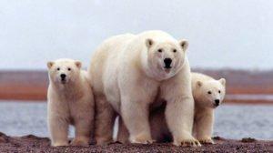 Ρωσία: 52 πολικές αρκούδες εισέβαλαν σε χωριό ψάχνοντας για φαγητό