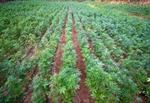 Την Παρασκευή στην Ολομέλεια κανονισμοί για εμπόριο σπόρων για βιομηχανική  κάνναβη 0291690ea72