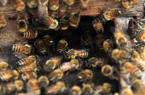 Tην Ευρωπαϊκή Πρωτοβουλία Πολιτών με τίτλο 'Σώστε τις μέλισσες!' καταχώρησε η Κομισιόν