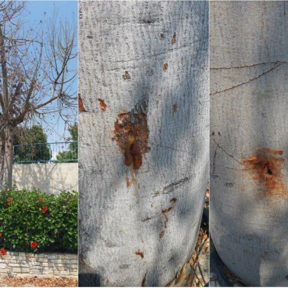 Εμβολίασαν με «θανατηφόρο εμβόλιο» δέντρα στην Αλαμινό