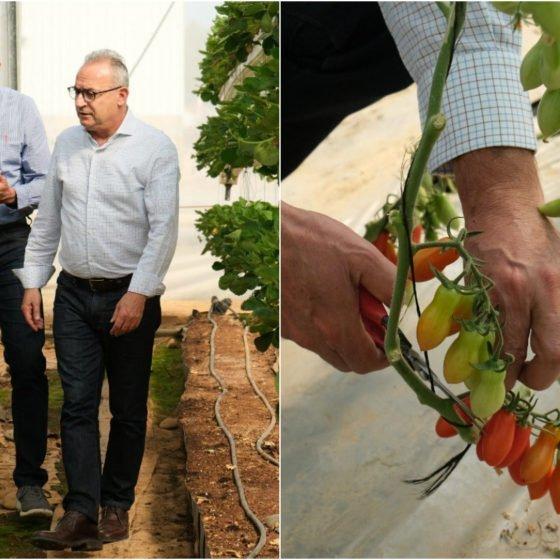 Μετά τις ελιές και τον «περίπατο» ο Αβέρωφ τώρα μαζεύει και ντομάτες (εικόνες)