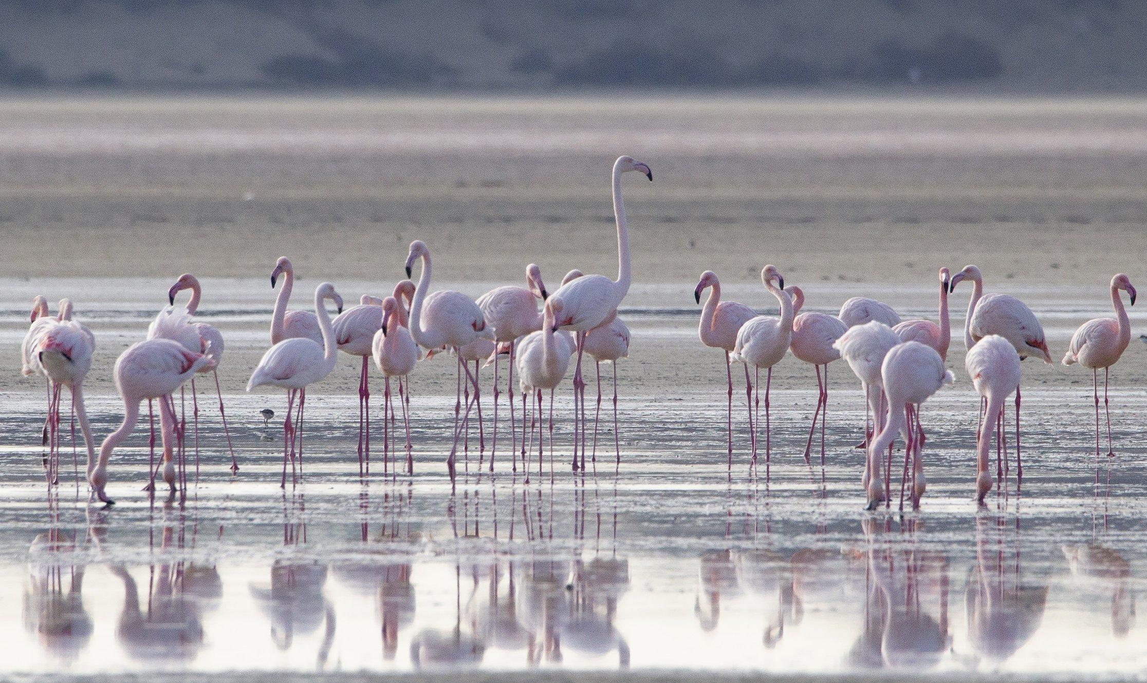 flamingo 9